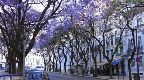 リスボンの初夏の街路を彩る南米由来のジャカランダ